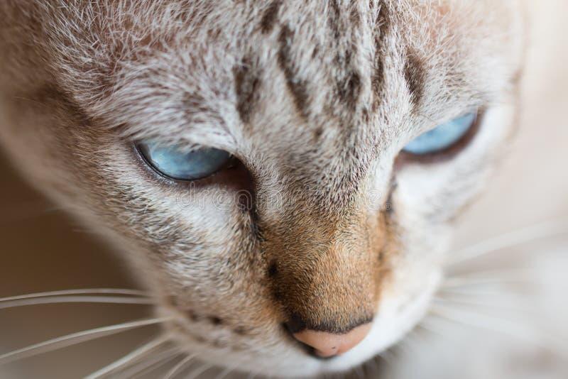 Смешной конец вверх тайского кота стоковые изображения
