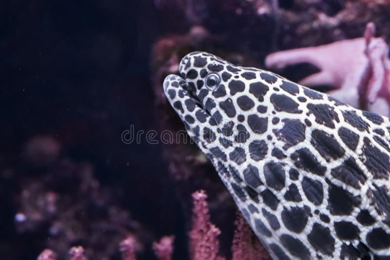Смешной крупный план головы угря мурены леопарда, тропической рыбы от Тихого океана стоковое изображение rf
