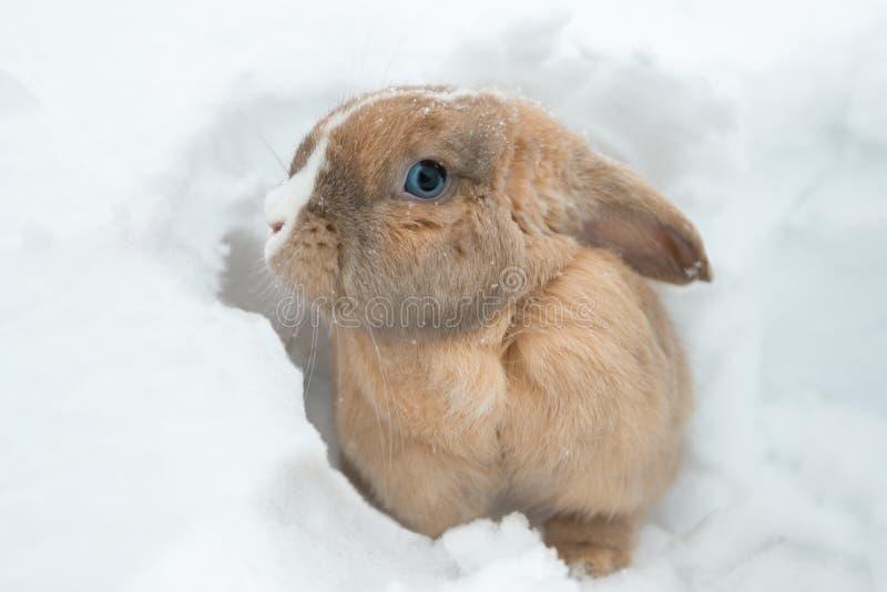 Смешной милый кролик при голубые глазы сидя в снеге стоковое фото