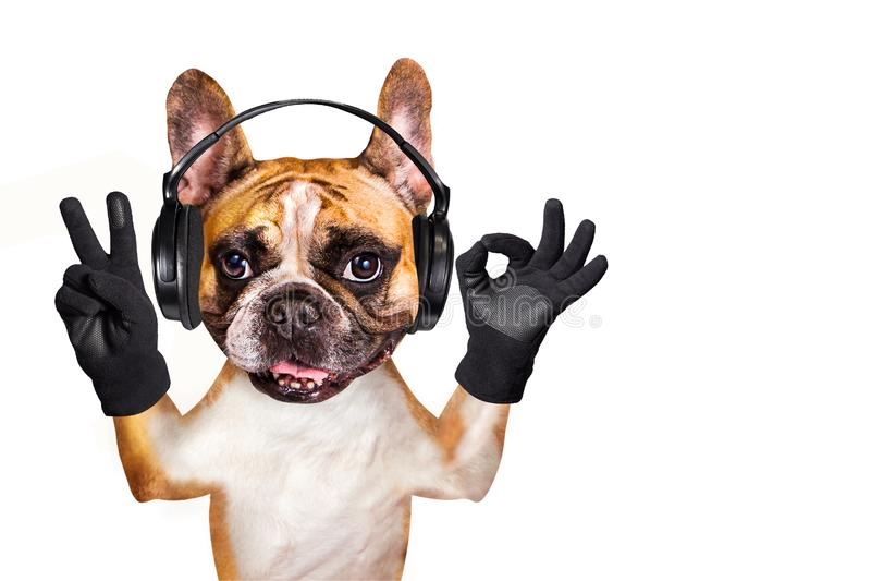 Смешной музыкант французского бульдога имбиря собаки в наушниках слушая музыку Животное изолированное на белой предпосылке стоковая фотография rf