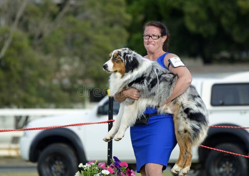 Смешной обработчик экспонента ANKC должен снести австралийского чабана по мере того как собака выставки отказывает идти в кольцо стоковые фотографии rf