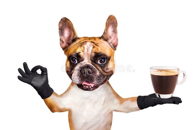 Смешной официант французского бульдога имбиря собаки в черной бабочке держать стеклянную кружку кофе и показывать знак приблизите стоковые изображения rf