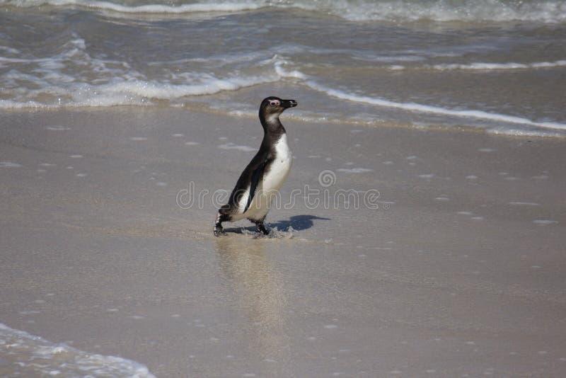 Смешной пингвин идя на песок стоковые изображения rf