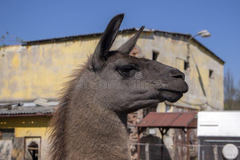 Смешной портрет ламы, темное коричневое волосатое животное, смешное выражение стороны, outdoors и дневной свет, солнечный день и  стоковое фото