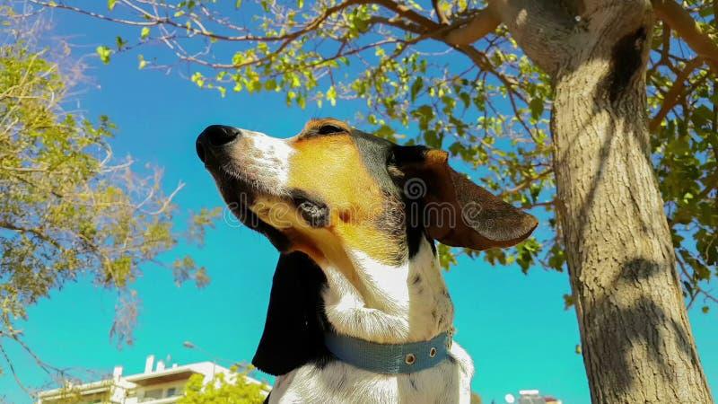 Смешной портрет собаки охоты при длинные уши тряся ветром Красивый расслабляющий момент счастливой и здоровой собаки сток-видео