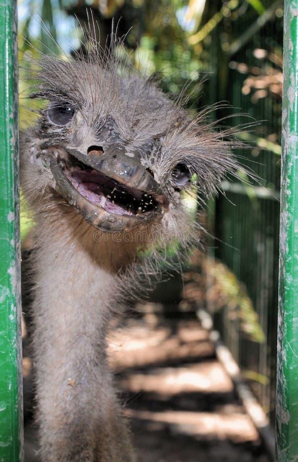 смешной портрет страуса стоковое фото