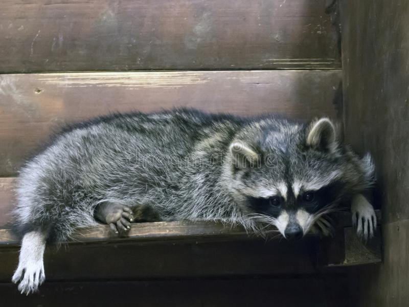 Смешной пушистый енот лежа в деревянной клетке стоковое фото
