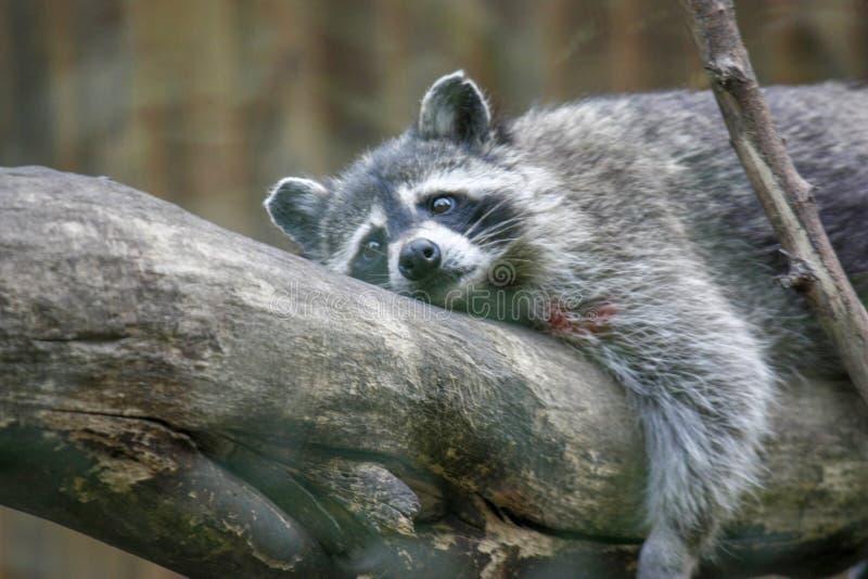 Смешной пушистый енот лежа на деревянном журнале : стоковые фото