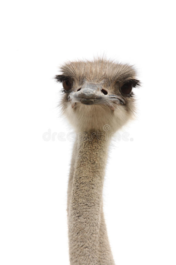 смешной страус стоковое фото