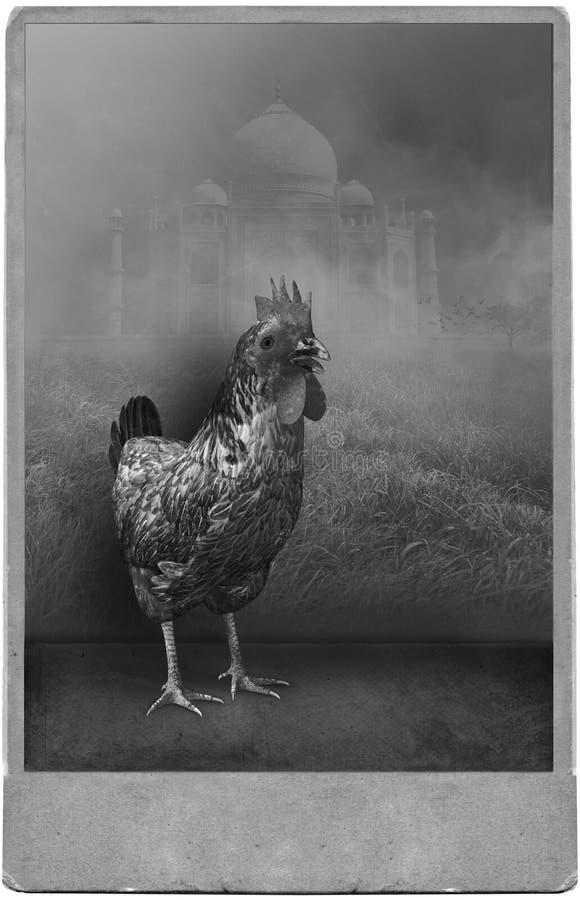 Смешной сюрреалистический винтажный портрет фотографии студии цыпленка стоковое фото