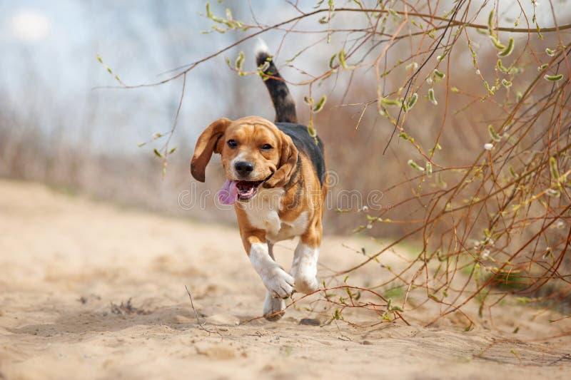Смешной ход собаки бигля стоковые фото