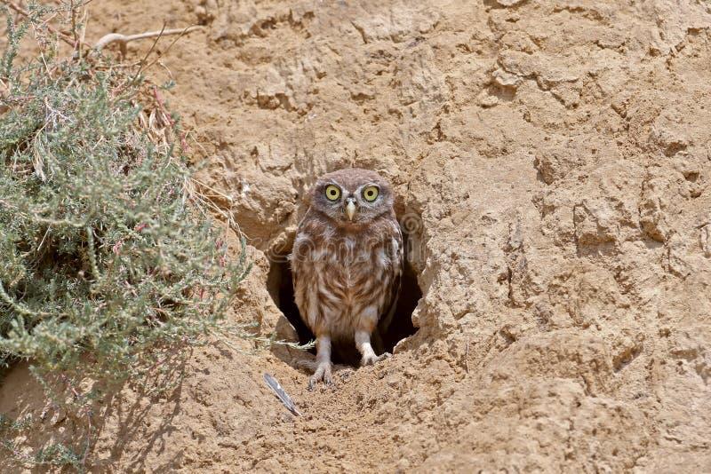 Смешной цыпленок маленького сыча стоит рядом со своим гнездом стоковые изображения