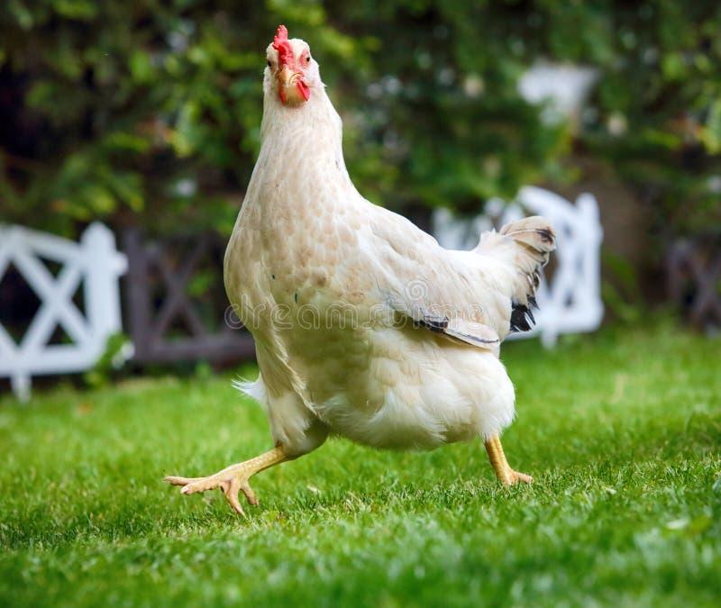 Смешной цыпленок runnigh в био ферме стоковые изображения rf