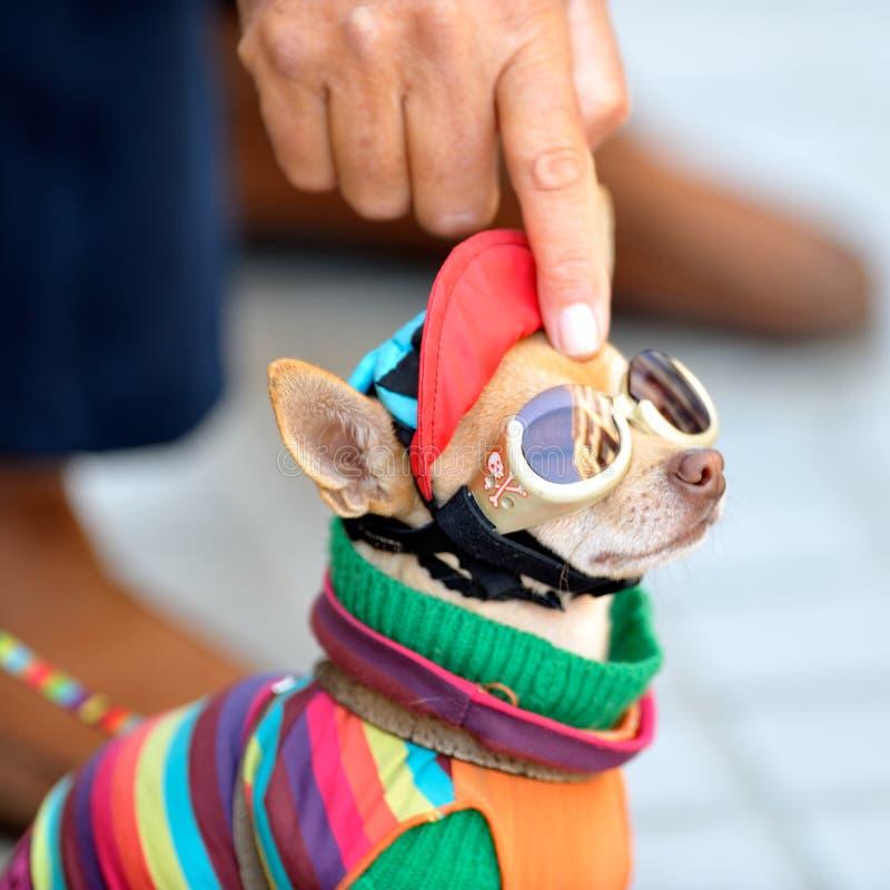 Смешной чихуахуа нося крошечные одежды стоковые изображения rf
