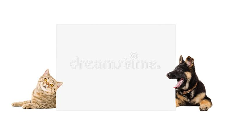 Смешной щенок и кот немецкой овчарки лежа за знаменем стоковое фото rf