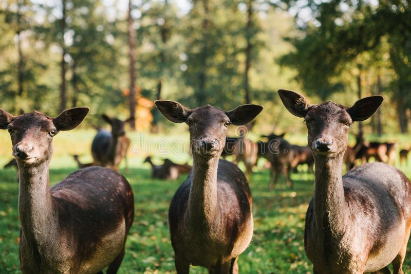 Смешные животные в естественной среде обитания 3 красивых любознательных косули стоят на заднем плане расплывчатого табуна в солн стоковые фото