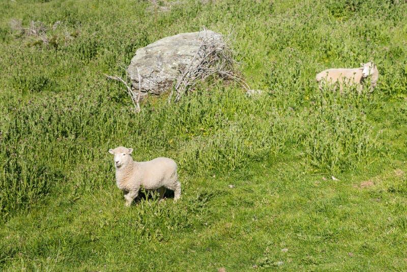 Смешные молодые овцы на зеленом наклоне горы вдоль следа пика Roys стоковые фотографии rf