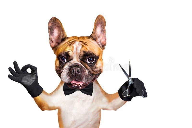 Смешные ножницы владением groomer парикмахера французского бульдога имбиря собаки o стоковые изображения rf