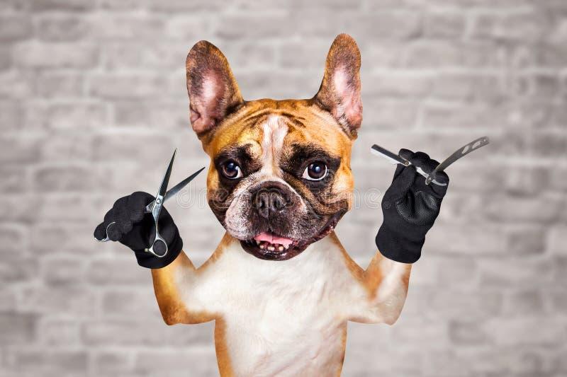 Смешные ножницы владением groomer парикмахера французского бульдога имбиря собаки и прямая бритва человек на белой предпосылке ки стоковые фотографии rf