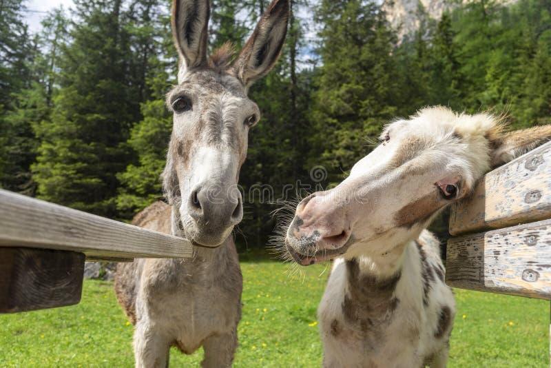 Смешные ослы в Val Contrin Доломиты r стоковая фотография
