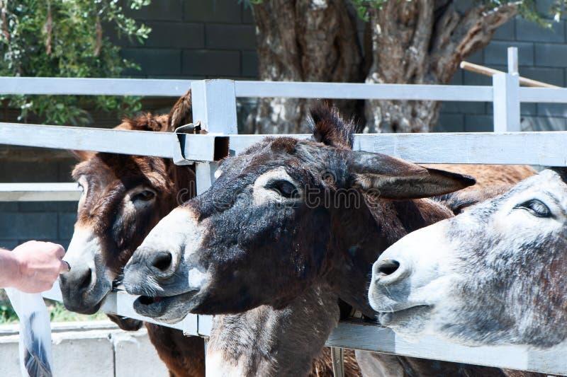 Смешные ослы стоковое изображение rf