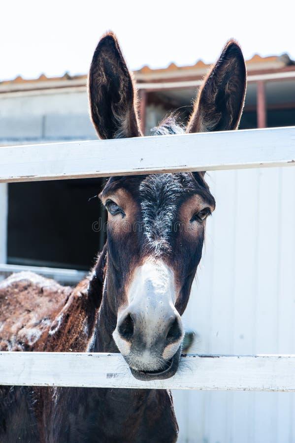Смешные ослы стоковая фотография rf
