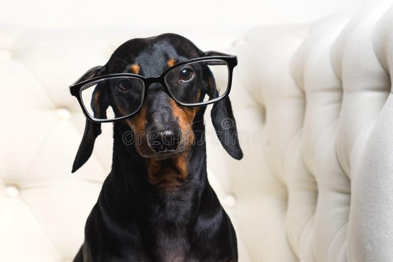 Смешные такса маленькой собаки, черные и загорают, носящ стекла сидят в белом фокусе кресла на глазах стоковое фото rf