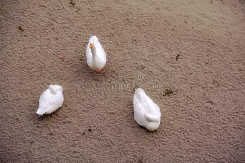 3 смешных гусыни, пляж песка стоковое изображение rf
