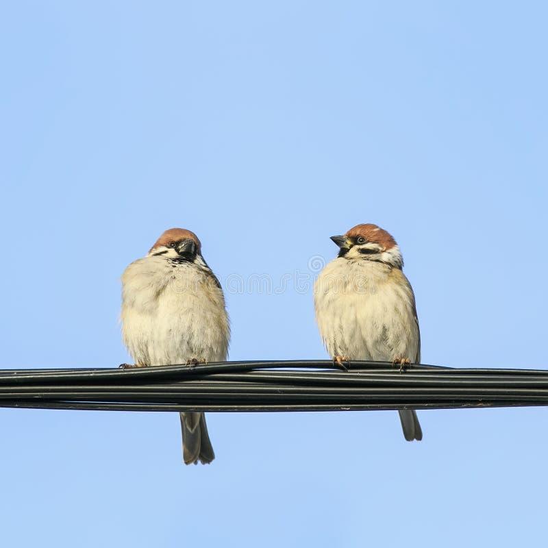 2 смешных маленьких птицы сидя на черном проводе на голубом небе стоковые изображения