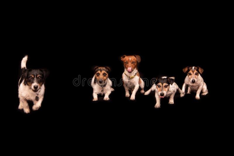 6 смешных милых маленьких собак сидя и готовя сторона в ряд перед черной предпосылкой стоковые изображения