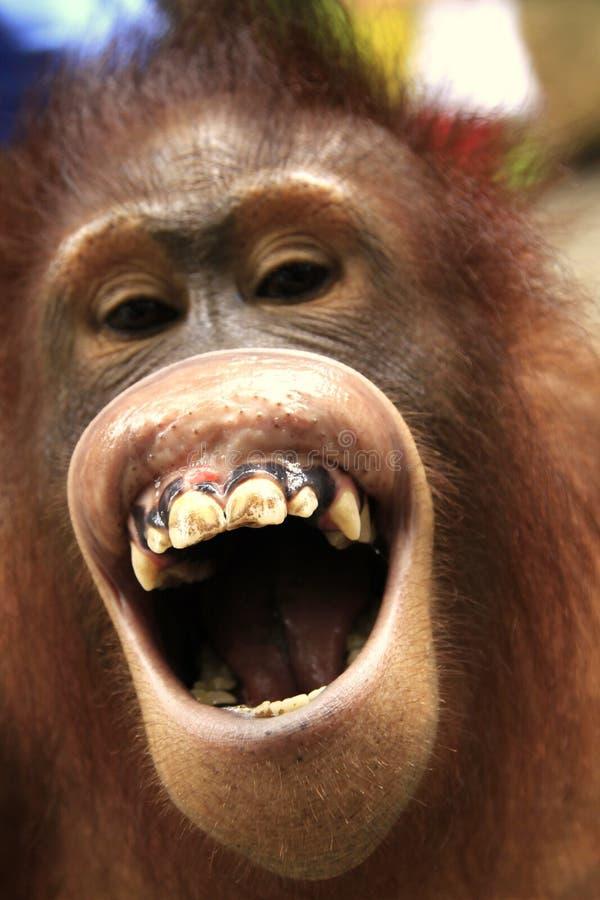 смеясь над orangutan стоковое изображение rf