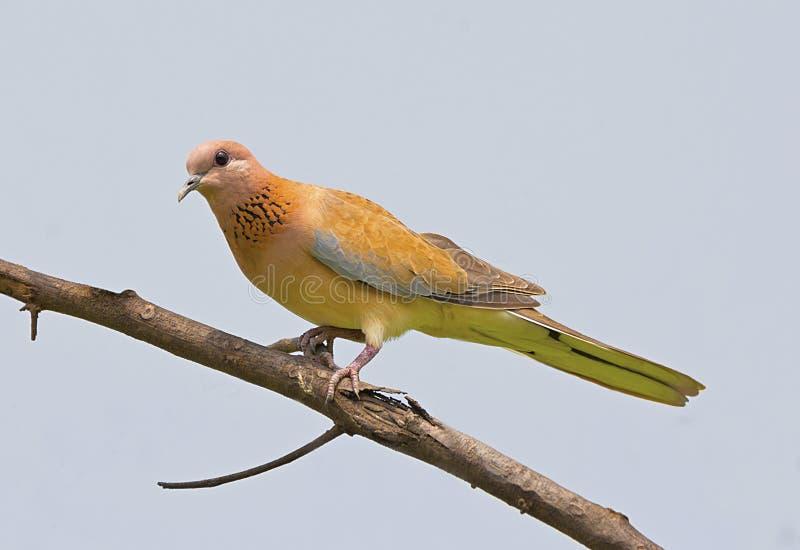 Смеясь над голубь на ветви стоковое фото