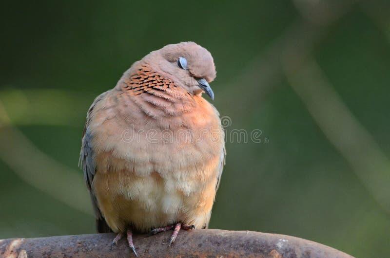 Смеясь над голубь с ей закрытые глаза стоковое фото
