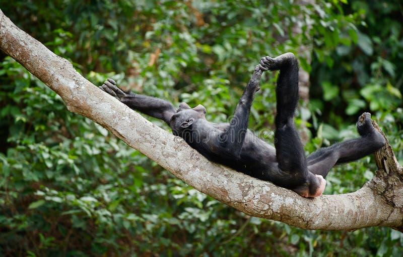 Смеясь над карликовый шимпанзе стоковые изображения