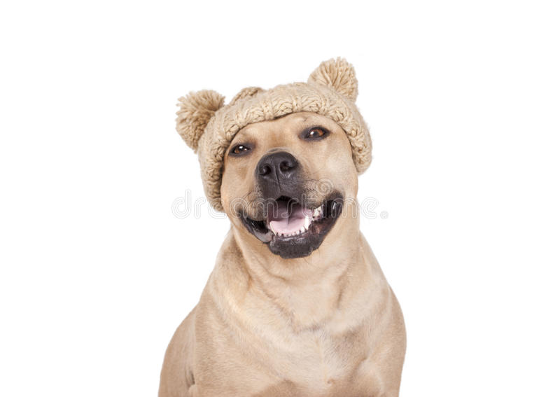 Смеясь над счастливая собака американского терьера с связанной шляпой усмехается на камере стоковые изображения rf