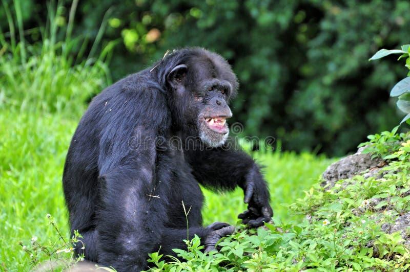 Смеясь над шимпанзе стоковая фотография rf