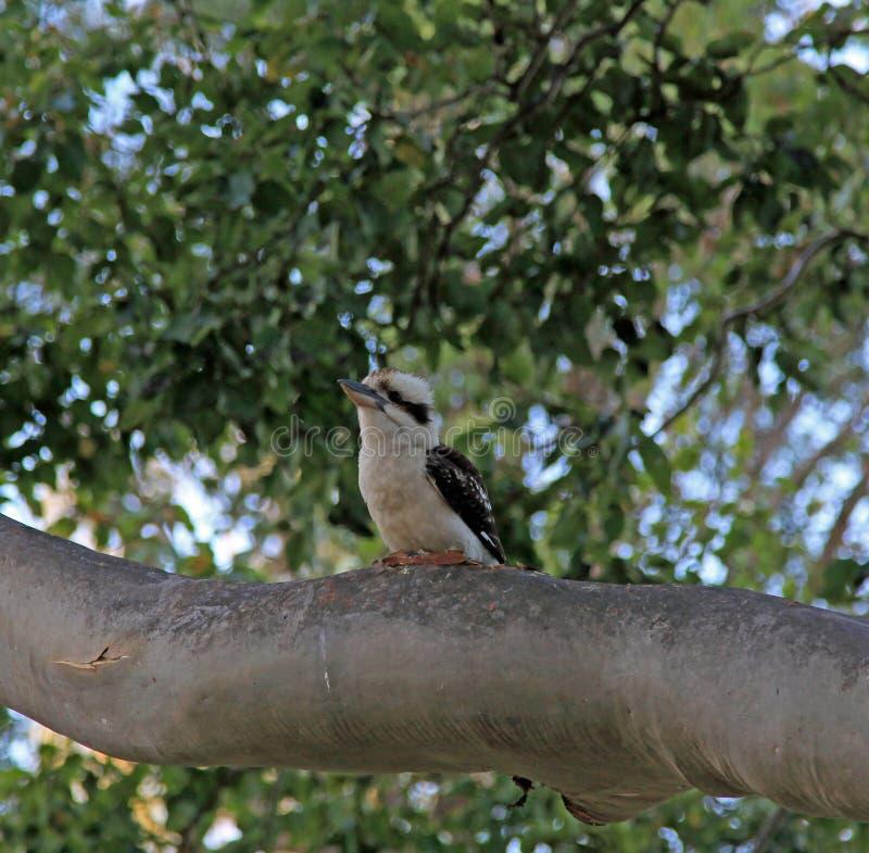 Смеясь над Kookaburras стоковое изображение