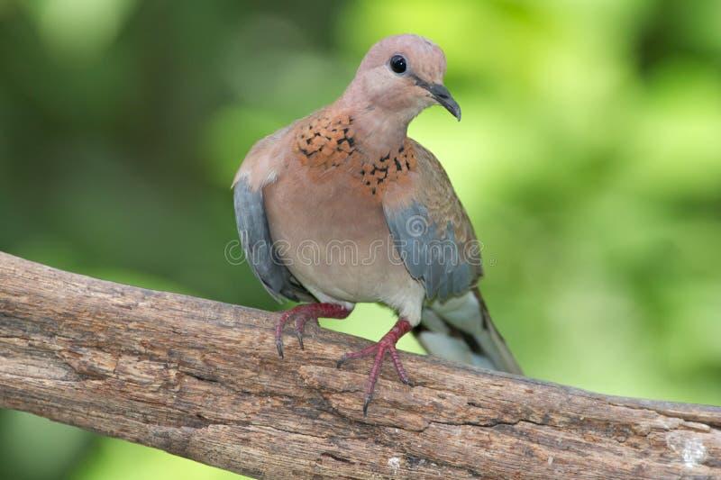 смеяться над dove стоковая фотография rf