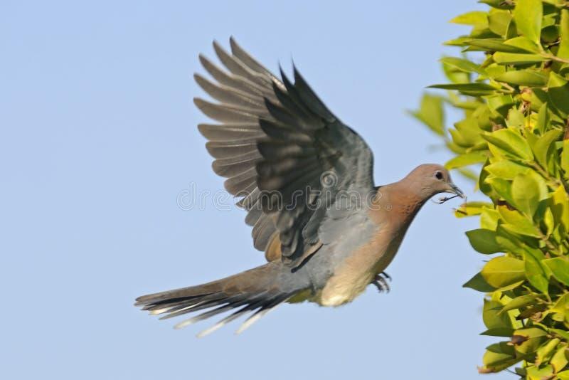 Смеяться над нырнул летание с строительным материалом к гнезду стоковые изображения rf