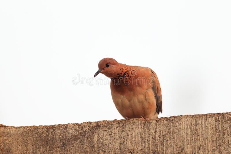 смеяться над dove стоковые фото