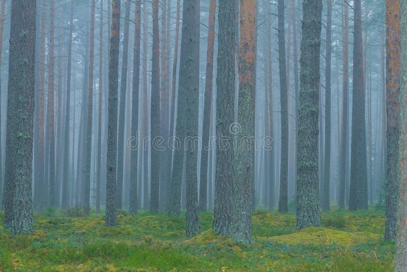 Смог в лесе, Латвии Большие спрус и мох 2010 стоковое изображение