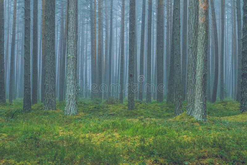 Смог в лесе, Латвии Большие спрус и мох 2010 стоковая фотография rf
