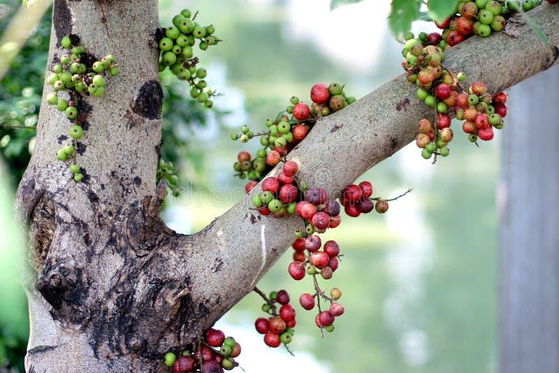 Смоква приносить, плодоовощи красной смоквы тайские на дереве в лесе стоковое изображение rf
