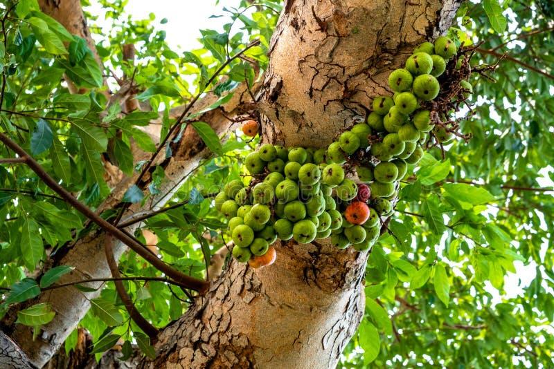 Смоковница группы с зелеными и красными плодами прикрепленными в ветвь стоковые изображения