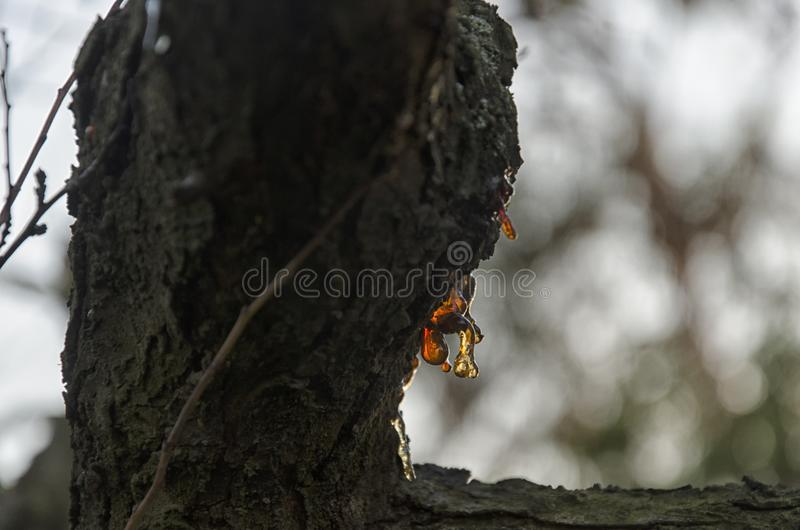 Смола ветви дерева стоковые фотографии rf