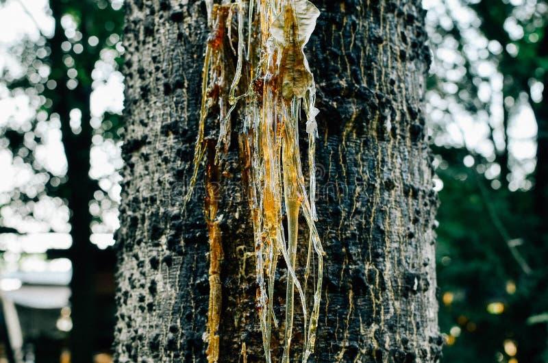 Смола пропускает от дерева стоковая фотография