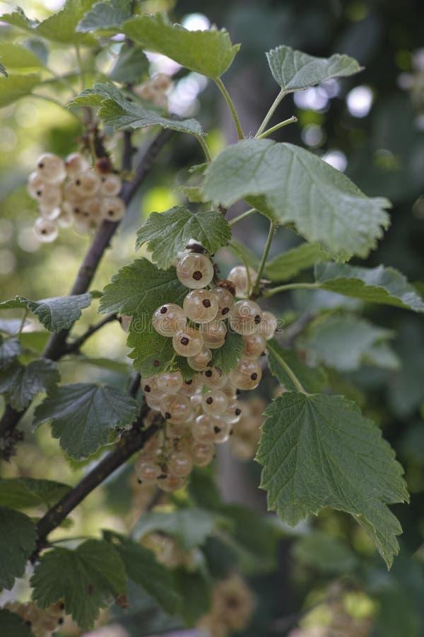 Смородина или крыжовник niveum смородины белая зрея в саде стоковое изображение