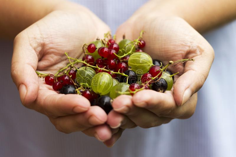 Смородина крыжовников, черных и красных поленики - ягоды в ладонях женщин стоковые изображения rf