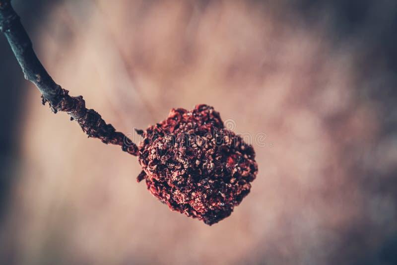 Сморщенное яблоко на ветви после зимы стоковое изображение rf