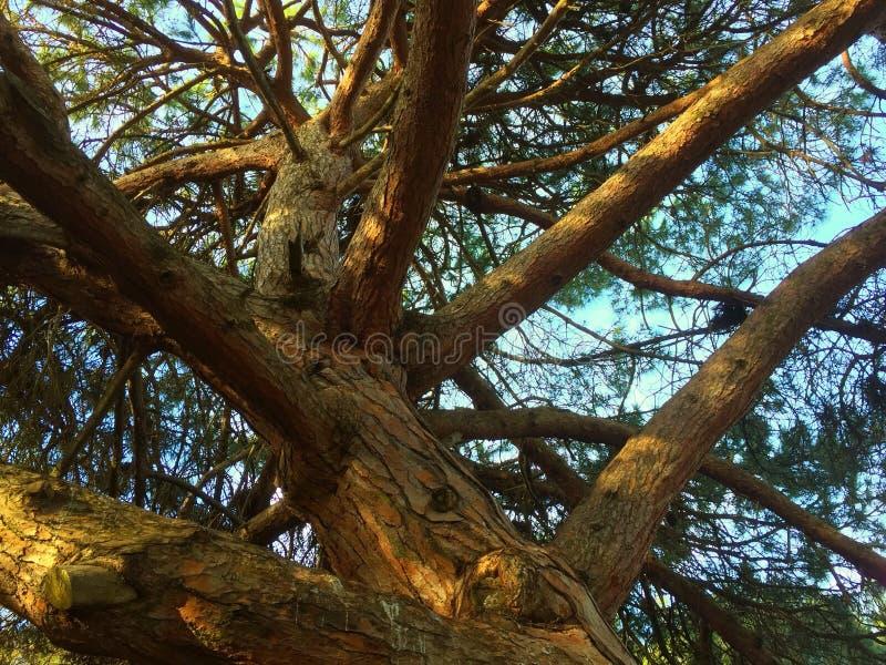Смотреть вверх большое старое дерево стоковое изображение